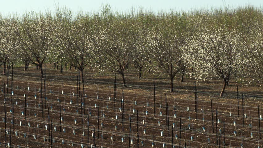 Almond orchards shot in Israel.