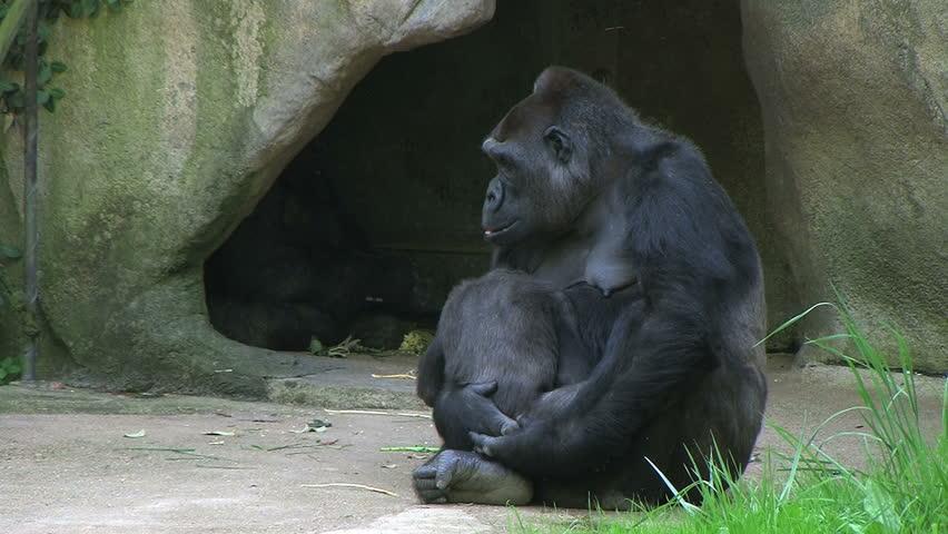 Gorilla Holding Baby