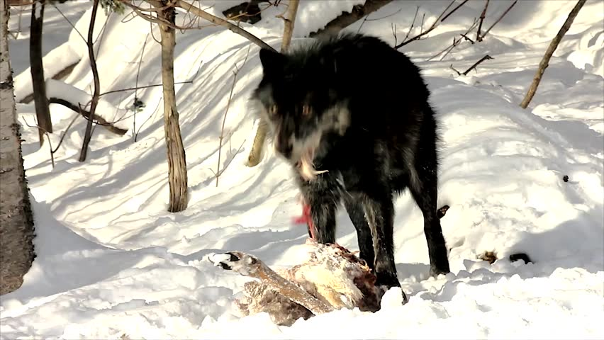 A Wild Gray Wolf Feed on a Deer Carcass (this is a wild pack photographed from a blind)
