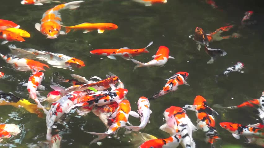 Waterfall mount olympus greece stock footage video for Koi fish to pond ratio