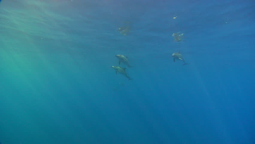 Dolphins swim in beautiful blue waters