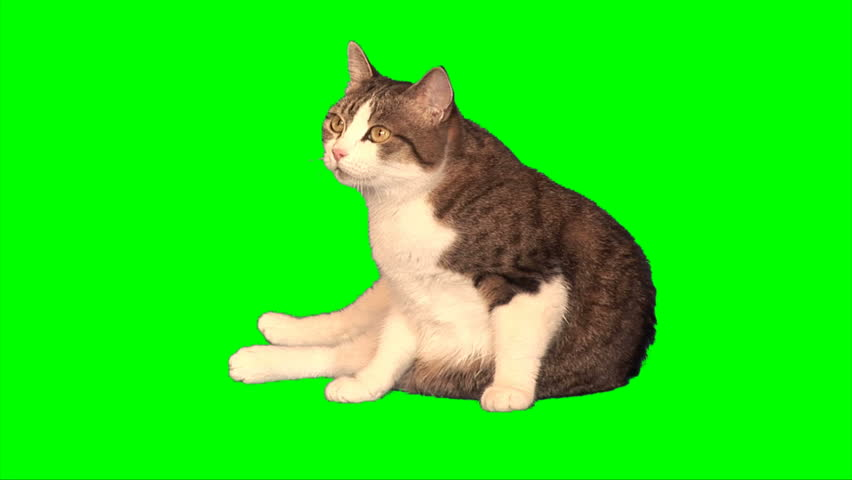 Big cat sits on green screen - HD stock video clip