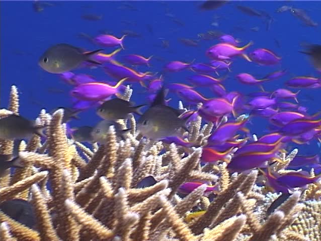 Purple anthias (Pseudanthias tuka) swimming underwater in Papua New Guinea - SD stock footage clip