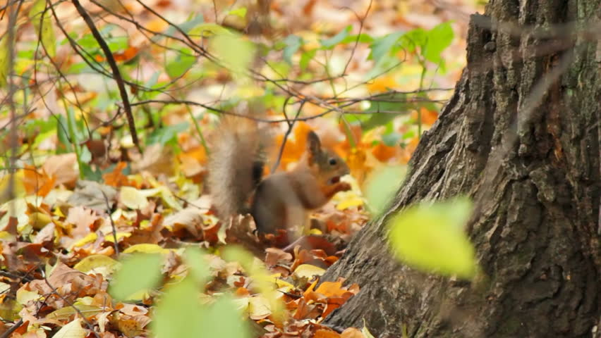 Squirrels frolic in the autumn forest, sequence - HD stock video clip