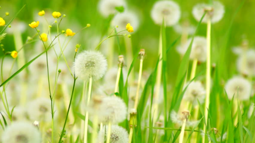 dandelions in the weeds