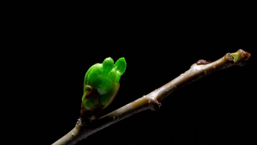 Time-lapse cherry flowers bud growing - isolated on black background. - HD stock footage clip