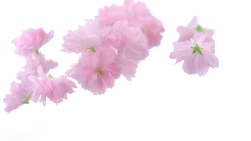 Love Pink Orchid Flower Romantic Wallpaper 24 3687 Hd: Cherry Blossom Flowers Being Thrown In The Air Shooting