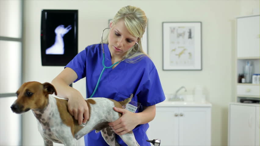 A pretty young veterinarian checks the breathing and heartbeat of a terrier dog.