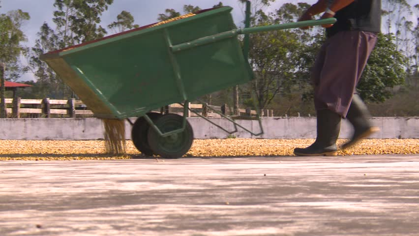 agriculture, coffee beans poured on concrete drying slab med