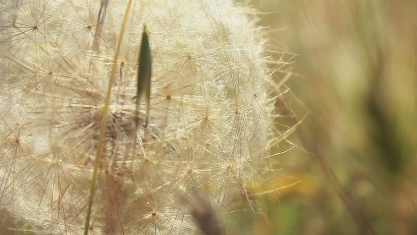 Dandelion close up 1080p