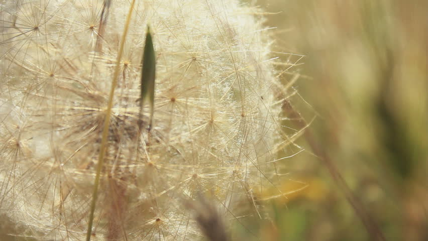Dandelion close up 1080p