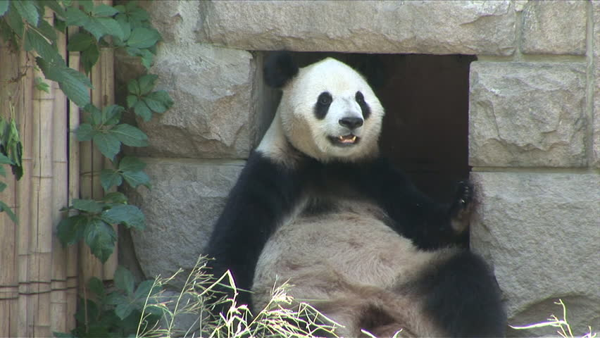 View of Panda straight chilling in a zoo in Beijing China - HD stock video clip