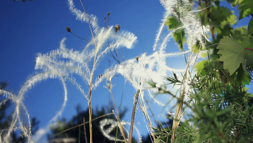 Beautiful stipa - feather grass in the wind