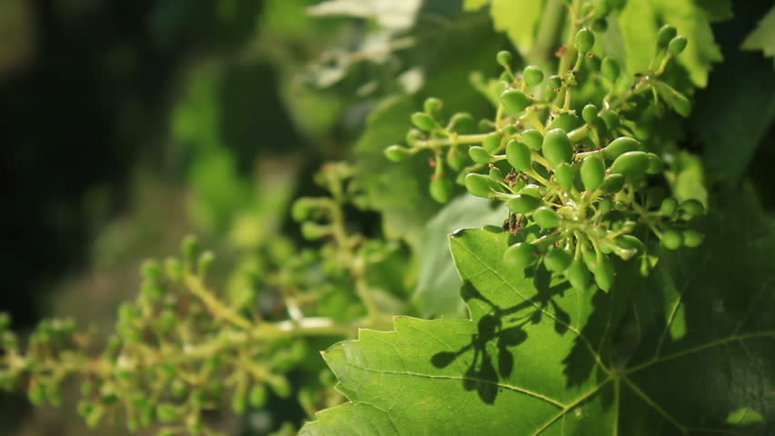 young grapes in vineyard