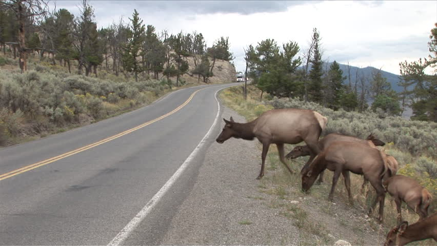 Deer Park (IL) United States  City pictures : Deer Herd Crossing The Road In Yellowstone National Park Of United ...