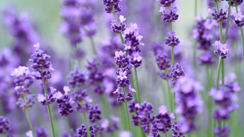 Close up of violet lavenders flowers.