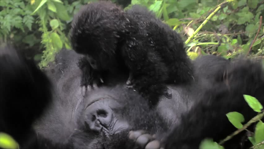 The Critically Endangered Mountain Gorilla Seen Here Playing with her Newborn Baby in Virunga Mountains, Rwanda. This is the Susa Group, which was studied by Dian Fossey. - HD stock footage clip
