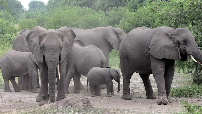 A WILD African Elephant Family (and Baby!) camouflages by throwing dirt on themselves with trunks in Queen Elizabeth National Park Uganda, Africa. This behavior may relate to scent & social cues. - HD stock video clip