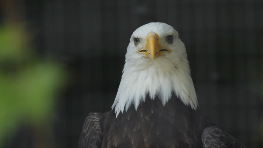 Bald eagle in cage.  Closeup of bald eagle. Cage bars defocused. Freedom in a cage.