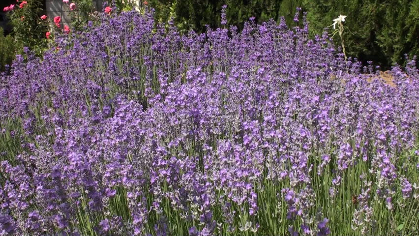 This is a beautiful natural video of Lavender Flowers And Butterfly In The Garden..