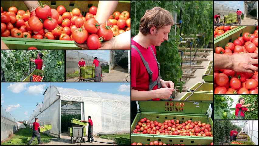 Tomatoes growing in a greenhouse - Collage . Freshly harvested tomato in worker's hands. Food industry. Agricultural production. Ripe tomato. Commercial greenhouse exterior. - HD stock footage clip