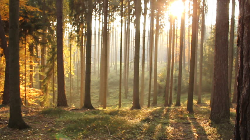 Slow movement through a Czech forest with the sun shining through many trees, seen during the late afternoon