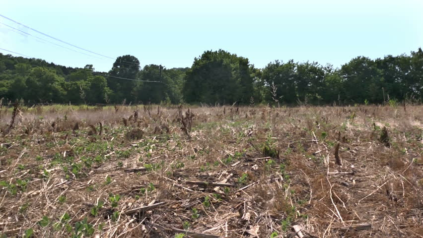 Drought Damaged Corn Field Effects Of Prolonged Hot Dry ...