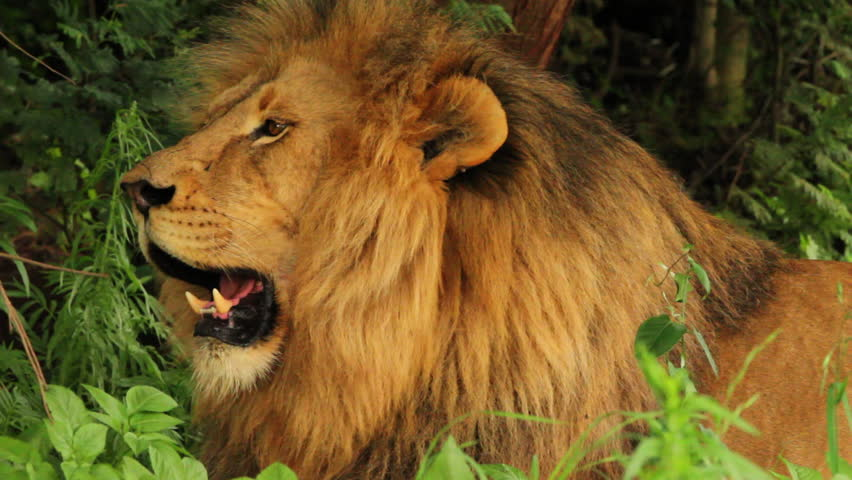 Close-up of a Male Lion (Panthera leo) lying down panting and looking around. Note: this is not a captive animal in a zoo or theme park - this lion is wild and filmed on location in Africa