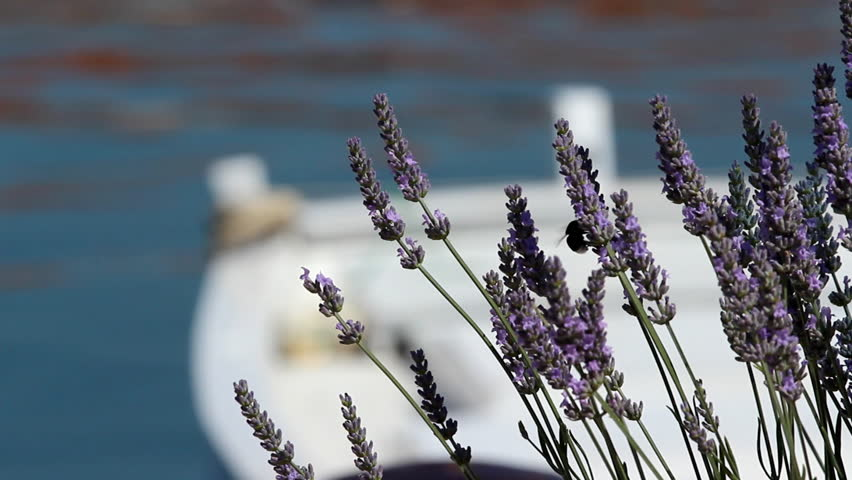 Lavander and boat