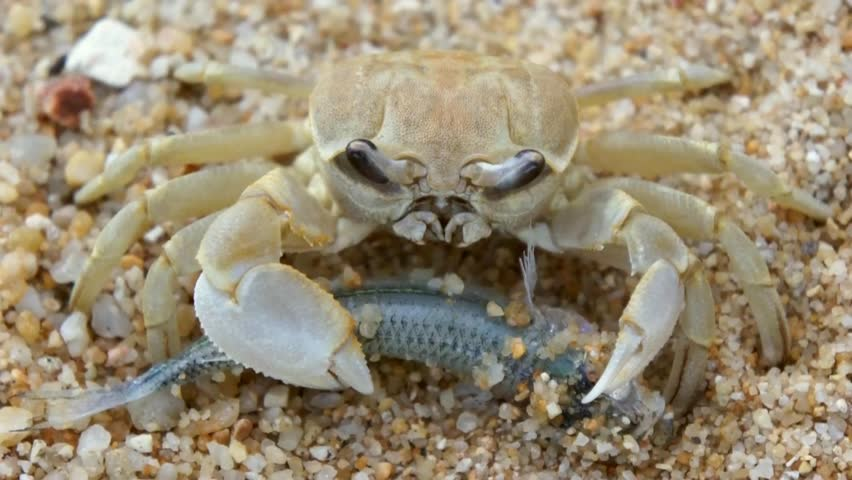 Hermit Crab Dardanus Pedunculatus Walking Underwater In