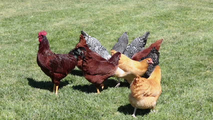 how to stop hens eating eggs
