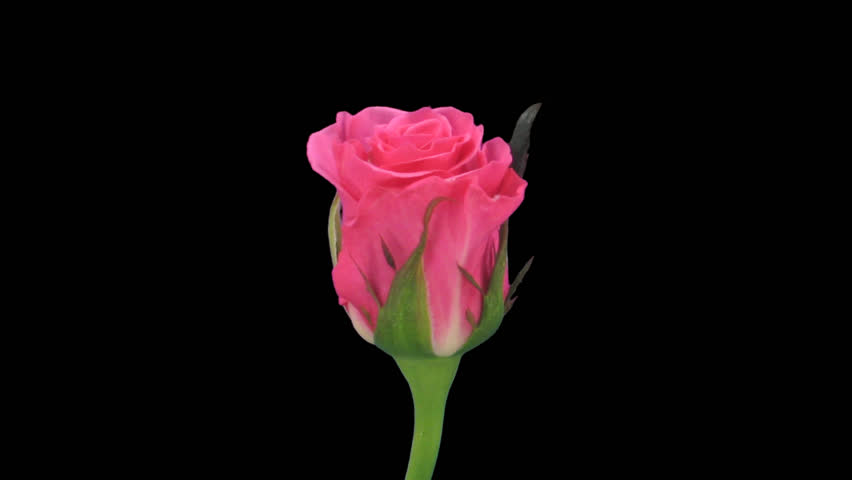 "Time-lapse of opening pink ""Ballet"" rose 2c in .PNG+ format with alpha transparency channel isolated on black background