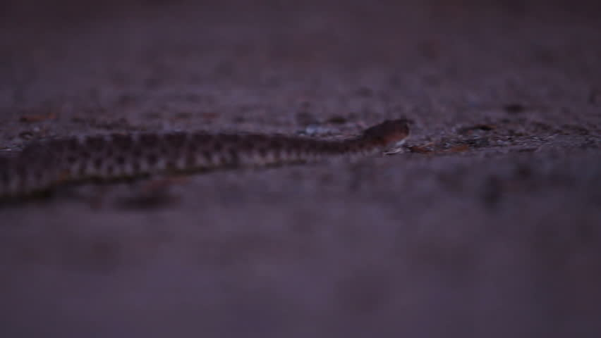 A low angle shot of a western diamondback rattlesnake on the hunt at night.