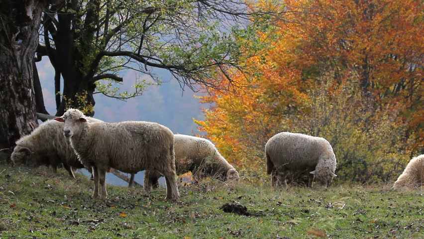 Red Autumn Trees And Sheep Flock Grazing On The Slope Of The Mountain ...