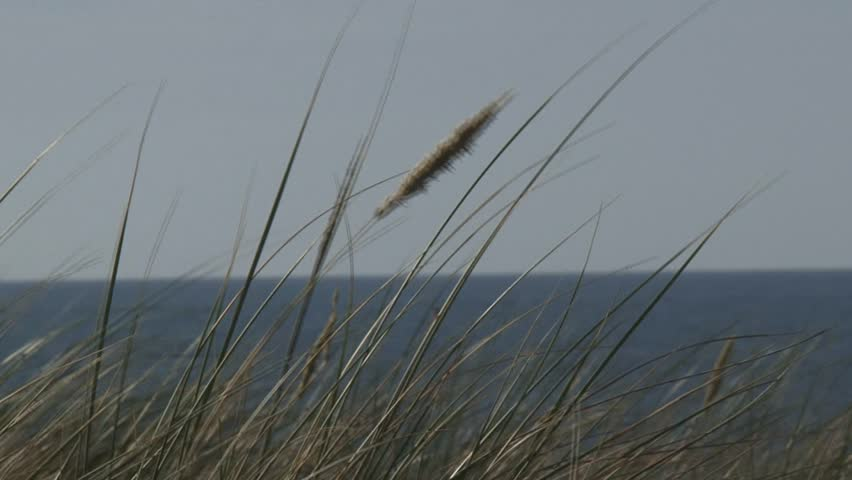 Header of Ammophila arenaria