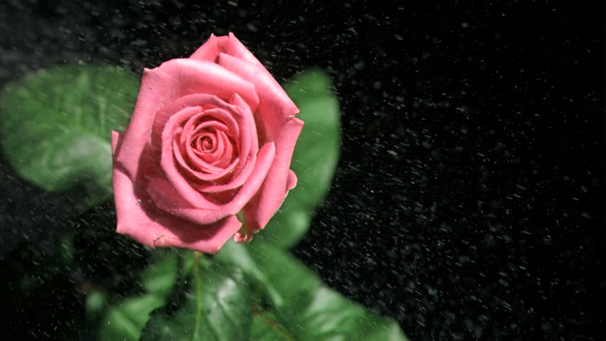 Rain Falling In Super Slow Motion On A Pink Rose Against
