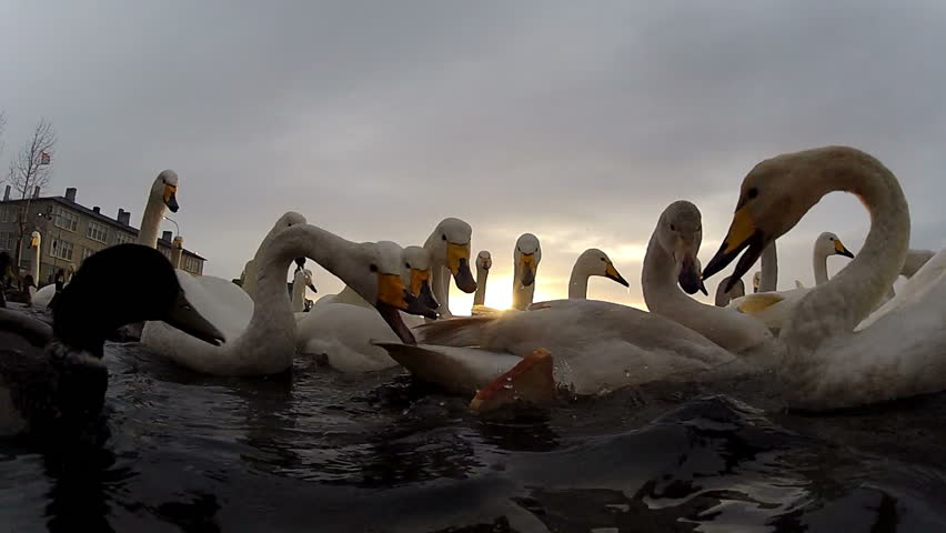 Swans and ducks in a feeding frenzy at Reykjavik, Iceland, city pond - HD stock footage clip