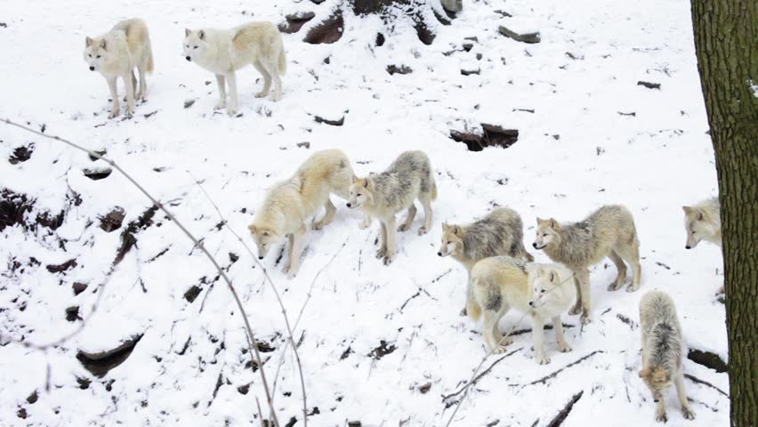 big Arctic Wolf pack on rock near forest in snowy landscape  (Canis lupus arctos; Canon 5D Mark II)