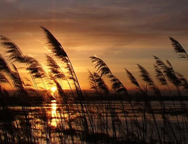 Reed | Shutterstock HD Video #33252