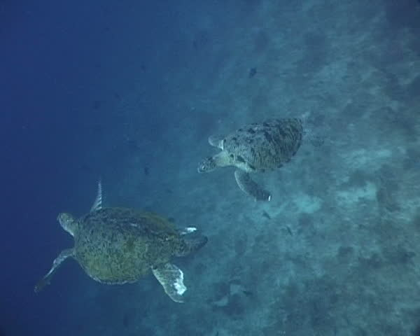 Two green Sea Turtles performing mating ritual in open water - SD stock video clip