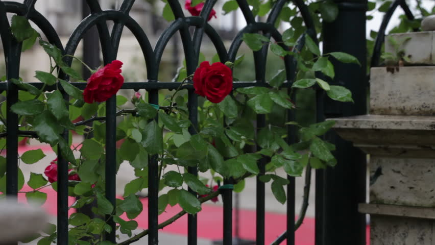 Red roses climbing on a Roman fence - HD stock video clip