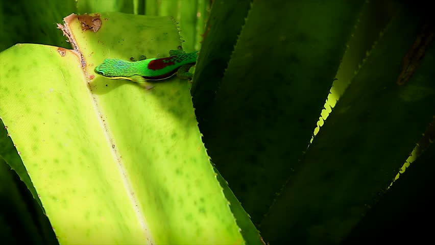 Lined Day Gecko (Phelsuma lineata) basks in the sun in Madagascar. Sunning or basking is how reptiles raise their body temperature. - HD stock video clip