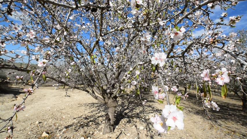 Header of Almond Tree