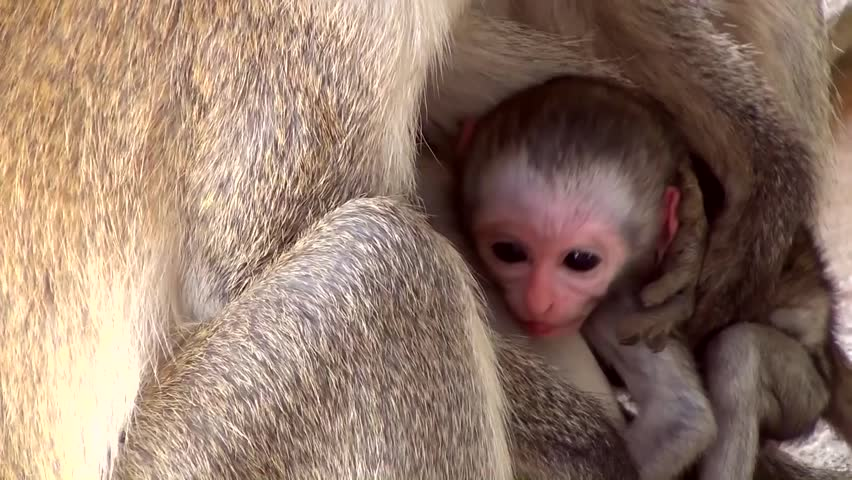 Vervet Monkey (Chlorocebus) - HD stock footage clip