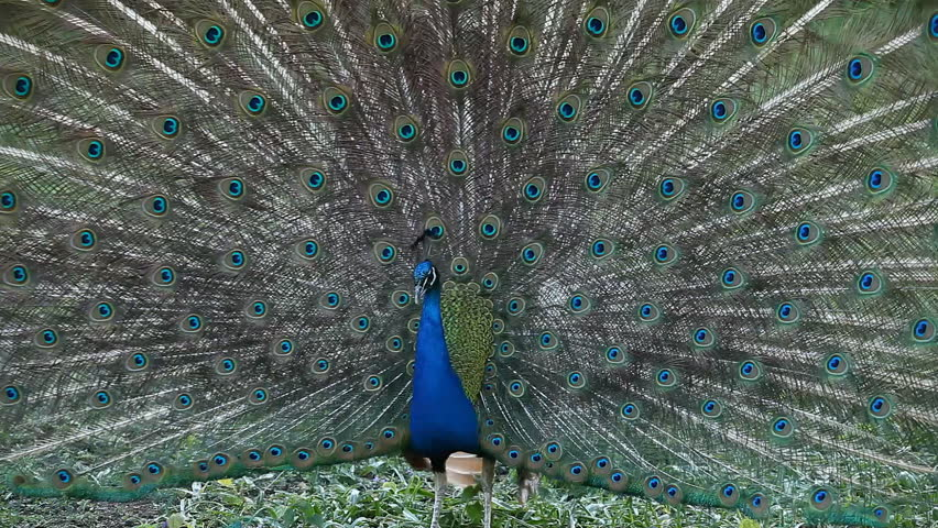 Peacock in heat around Peafowl, Phasianidae Family, Relaxing, Looking, Curious