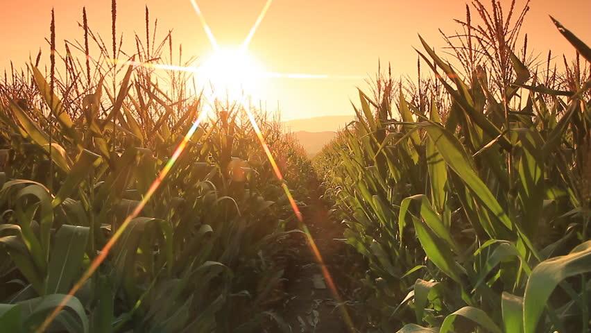 Corn farm in Thailand :  Crane shot with flare part 1
