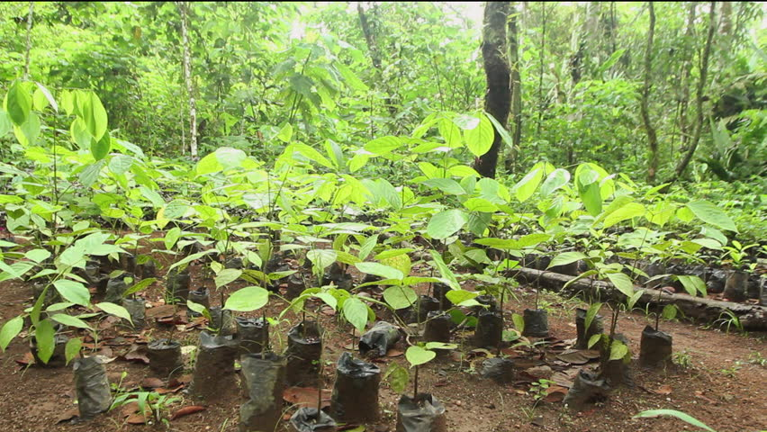 Mahogany seedlings (Swietenia macrophylla) for reforesting degraded land in the Ecuadorian Amazon
