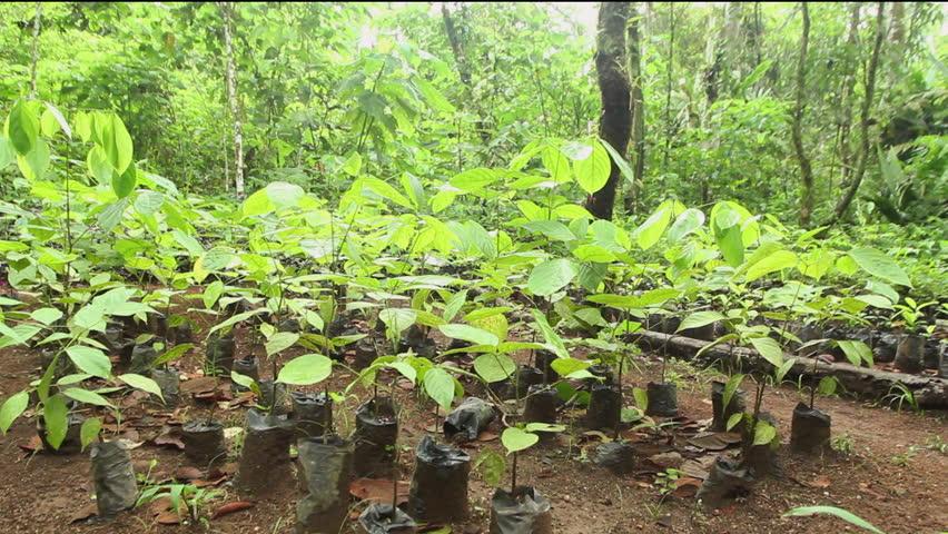 Mahogany seedlings (Swietenia macrophylla) for reforesting degraded land in the Ecuadorian Amazon