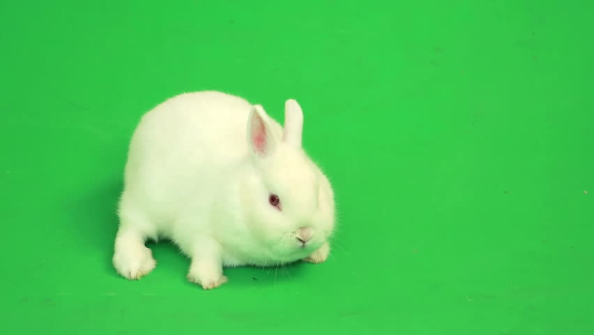 Fluffy white rabbit sniffing around  on green screen - HD stock video clip