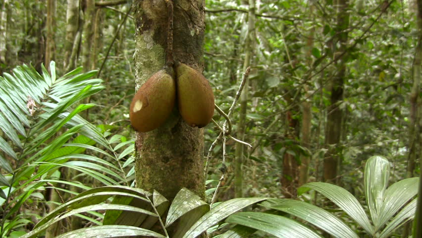 Fruit of Piton tree (Grias neuberthi) in the Ecuadorian Amazon - HD stock video clip